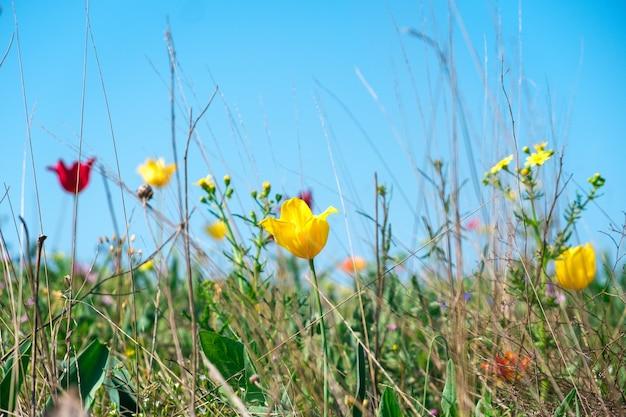 Tulipes sauvages jaunes et rouges dans un champ vert naturel avec diverses fleurs et herbes contre le ciel bleu.