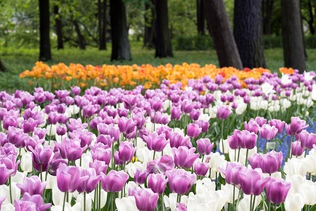 Tulipes violettes et blanches au printemps park sur l'île elagin, saint-pétersbourg.