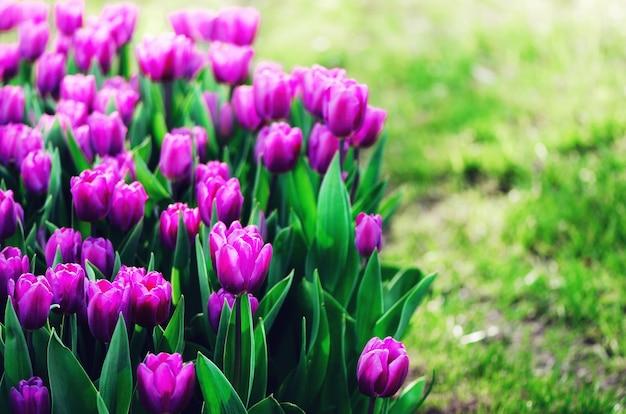 Tulipes violettes, violettes et lilas. concept d'été et de printemps, espace de copie. champ de fleurs de tulipes au soleil. mise au point sélective douce.