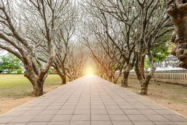 Tunnel d'arbre de plumeria sec ou de frangipanier avec chemin de promenade