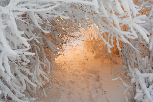 Tunnel de branches couvertes de neige