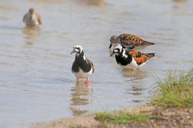 Un turnstone vermeil (arenaria interpres) avec un dunlin et séparé des autres oiseaux dans l'eau de l'estuaire.