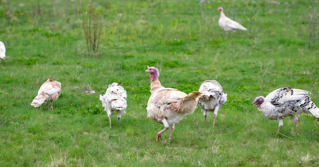 Turquie dans l'herbe. oiseau domestique. troupeau de dindes.
