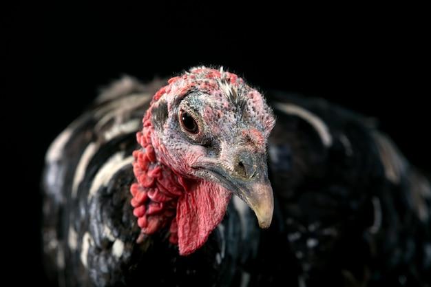 Turquie isolée sur fond noir