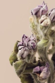 Tweedia oxypetalum fleur séchée sur fond beige