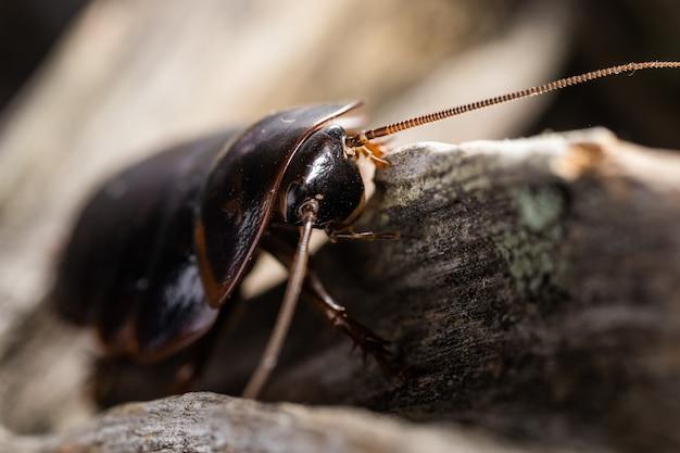 Un type de cafards est blattodea. c'est une sorte d'insectes qui contient des cafards et des termites. tous deux ayant évolué à partir d'un ancêtre commun.