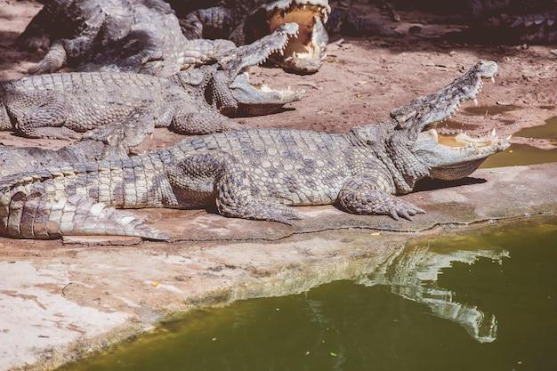 Types d'amphibiens crocodiles