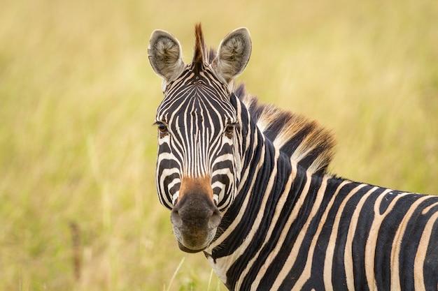 Ces types sont les punks originaux. zebra à tarangire.