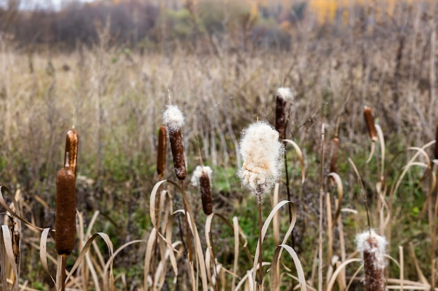 Typha latifolia, scirpe, scirpe commune, quenette à feuilles larges, quenouilles, grand roseau, roseau cumbungi de tonnelier
