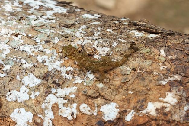 Ulber's gecko en forêt tropicale