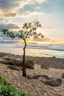 Umbrella tree à rocky point sur oahu, la côte nord d'hawaï au coucher du soleil