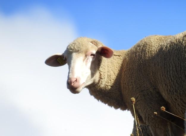 Una oveja entre las nube