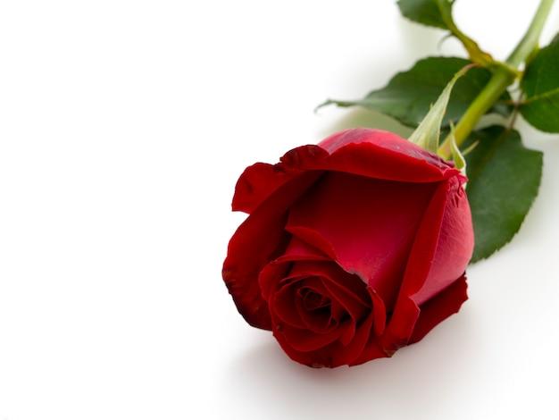 Unique belle rose rouge sur blanc