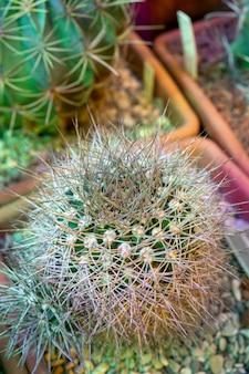 Usine de cactus épineux.