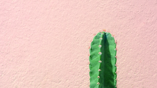 Usine de cactus vert devant le mur de ciment rose