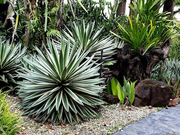 Usine du siècle d'agave dans le jardin