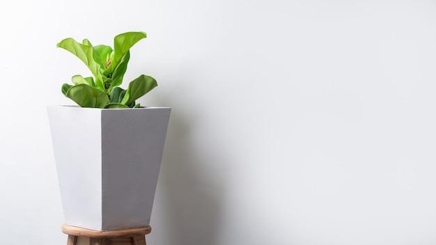 Usine de figue violon en pot de ciment sur un mur léger avec espace de copie