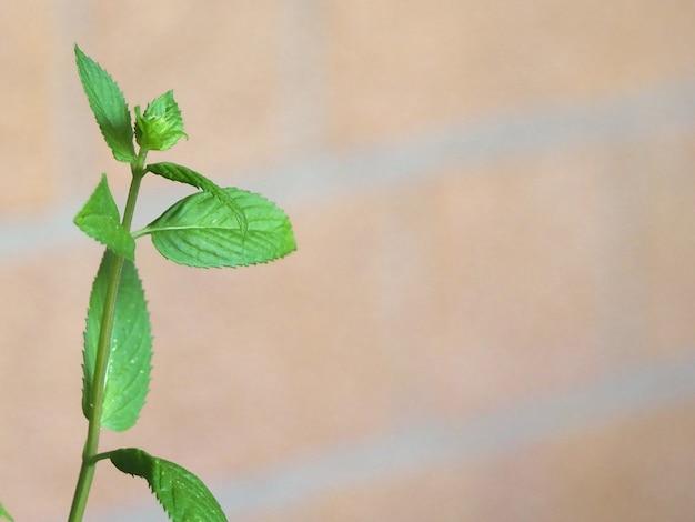 Usine de menthe poivrée (mentha piperita)