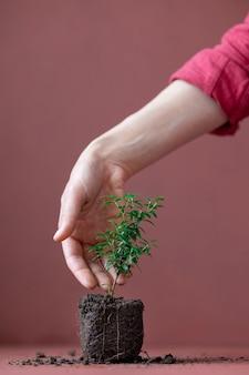 Usine de myrte sur un fond de terre cuite et une fleur de main de femme avec le début d'un nouveau sol