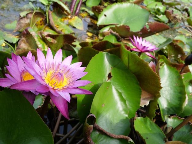 Usine de nature de fleur de lotus en thaïlande