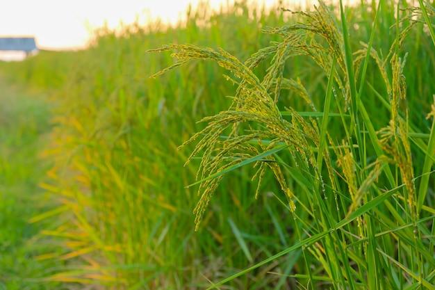 Usine de riz vert dans la ferme