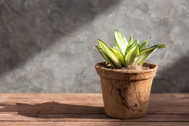 Usine de serpent ou plante sanseviera laurentii en pot de fibre de coco