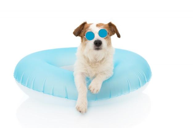 Vacances d'ete pour chien. chien de jack russell avec piscine flottante à air bleu portant des lunettes de soleil en vacances.