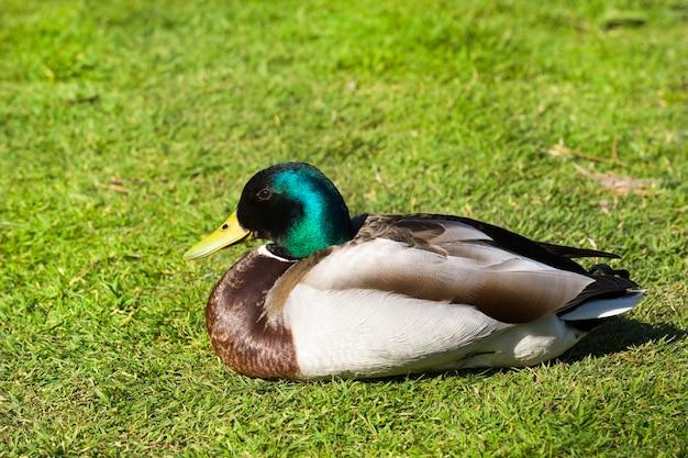 Les vacanciers sur l'herbe de beaux canards de couleur vive par temps chaud et ensoleillé