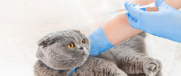 Vaccination des chats. médecine vétérinaire