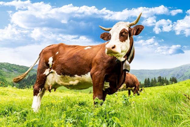 Vache alpine dans un champ