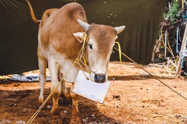 Vache animale sacrificielle de tradition musulmane pour qurban eidaladha