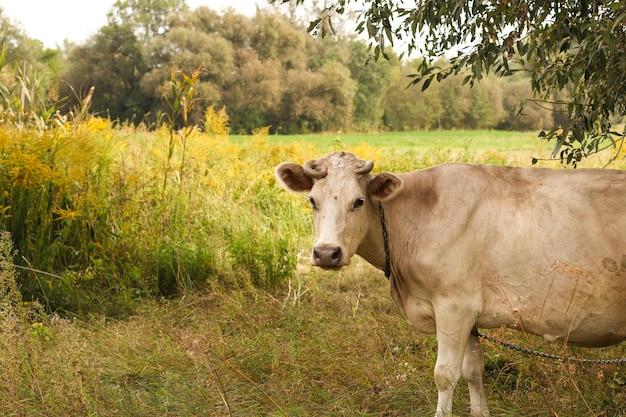 Une vache beige broute dans un pâturage d'été. fermer. format horizontal