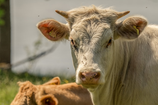 Vache blanche avec de petites cornes, sur un pâturage vert en suède. entouré de nombreuses mouches, au visage, aux yeux et au nez