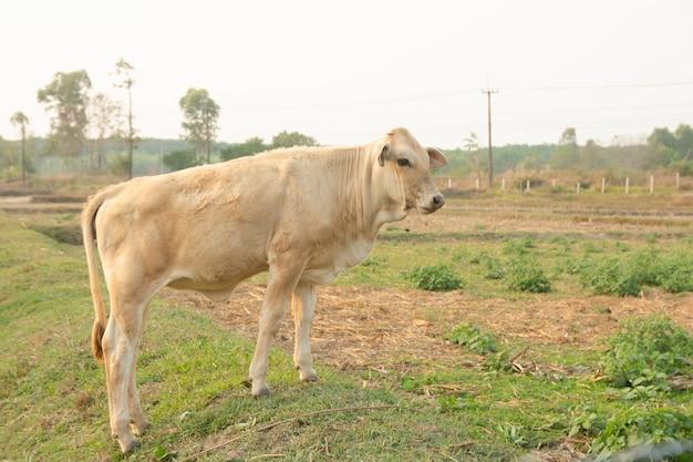 Vache blanche sur le pré