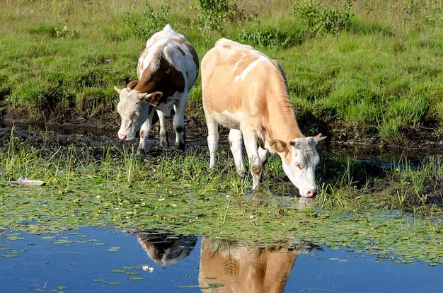 Une vache boit de l'eau dans un magnifique parc naturel.