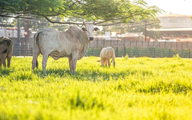 Vache de boucherie dans le domaine et pâturage vert