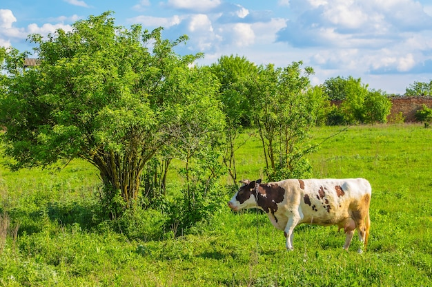 La vache broute sur une prairie verte en été par temps ensoleillé