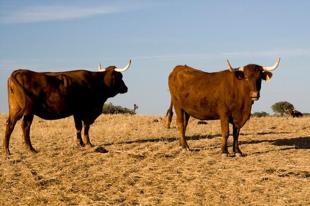 Une vache brune avec des cornes fixant la caméra, sur un ciel bleu.