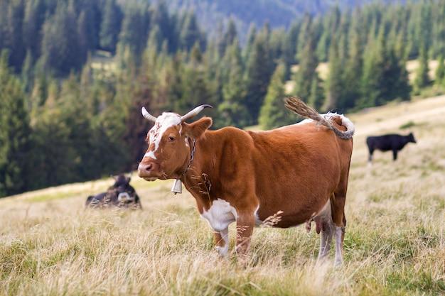 Vache brune debout dans l'herbe verte sur le terrain de pâturage ensoleillé lumineux. agriculture et agriculture, concept de production de lait.