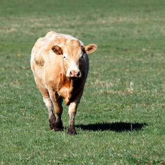 Vache brune sur le pré vert