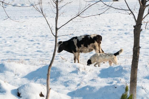 Vache et chien sur un champ enneigé par une journée ensoleillée