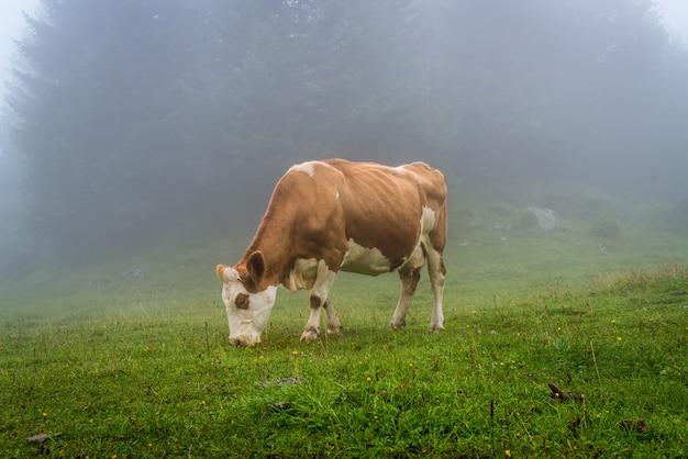 Vache sur la colline