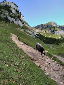 Vache dans les alpes autrichiennes