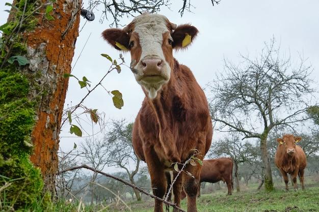 Vache debout à côté d'un vieil arbre et regardant curieusement la caméra.