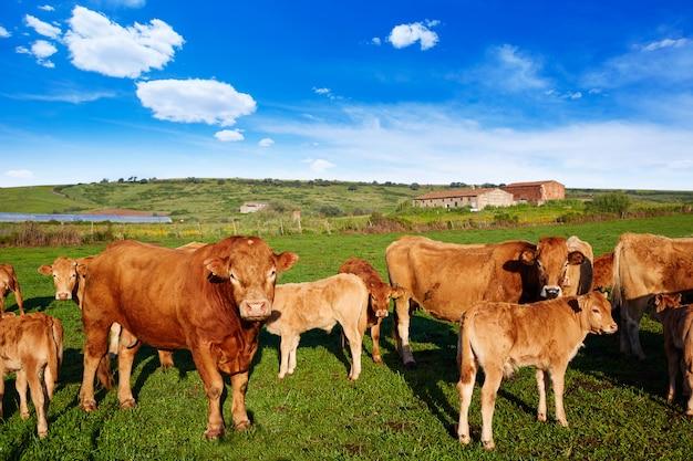 Vache à estrémadure d'espagne