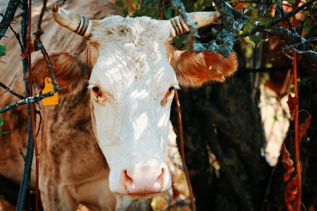 Vache avec étiquettes d'oreille.