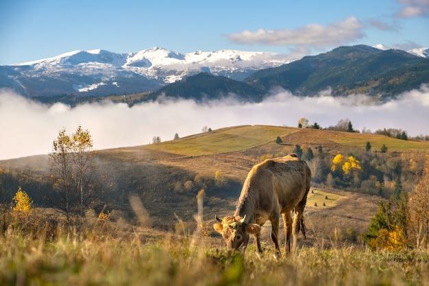 Vache de ferme paissant sur la prairie d'alpage dans les montagnes d'été.
