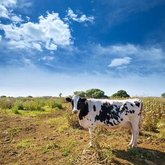 Vache frisonne minorque broutant près de ciutadella baléares