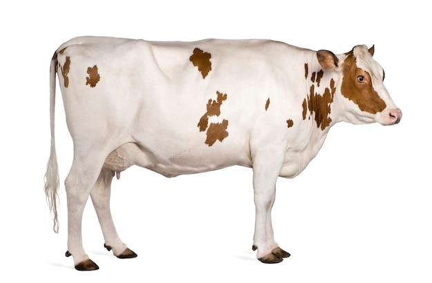 Vache holstein debout