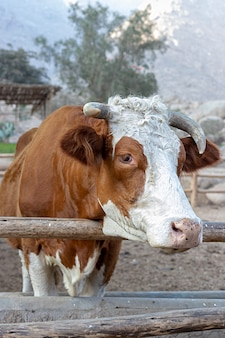 Vache mignonne hereford à la ferme
